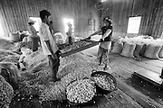 Myanmar. Workers at a  garlic collecting, sorting and packing warehouse. Shan State.