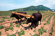 CUBA, ISLE OF YOUTH Oxen drawn plow, animals are now used because of scarcity of gasoline
