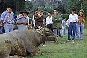 Gamblers size-up a bull. Bullfighting is part of Minang Kabau culture and contests take place every Tuesday and Saturday evening in towns and villages across central Sumatra. Indonesia, May 2000