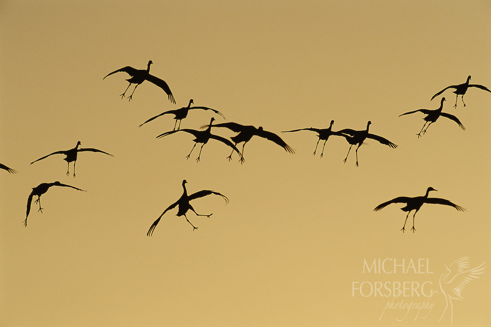 Sandhill cranes descend to the Platte River roost at sunset. Platte River valley, Nebraska.