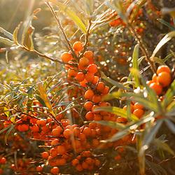 Elaeagnaceae, Duindoornfamilie