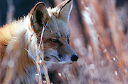 A red fox sits in the underbrush along the main road through Island Beach State Park...JACK HOWARD PHOTOGRAPH