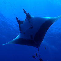 A Chevron Manta at the Socorro Islands.