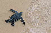Leatherback turtle juvenile {Dermochelys coriacea} Virgin Is, Caribbean