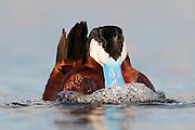 Ruddy Duck, Oxyura jamaicensis, male, Day County, South Dakota