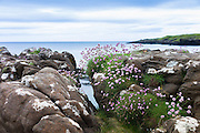 Coastal wildflowers, Sea Thrift or Sea Pink - Armeria maritima - on rock boulders at Brothers' Point, Isle of Skye, Western Isles of Scotland, UK