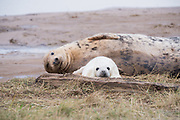 Donna Nook, Lincolnshire, UK – Nov 15: Cute fluffy newborn baby grey seal pup lies beside mother, resting on the mudflats on 15 Nov 2016 at Donna Nook Seal Santuary, Lincolnshire Wildlife Trust