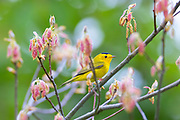 A male Wilson's warbler (Cardellina pusilla) rests on a branch surrounded by sprouts of new leaves in Snohomish County, Washington.