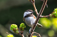This chestnut-backed chickadee shares much of the same range as its cousin, the black-capped chickadee. Interestingly, they may share the same resources, but they don't share the same feeding habits. Chestnut-backed chickadees like to feed near the top of conifers and other deciduous trees, while black-capped chickadees prefer the lower half of these same trees. Therefore, they don't compete for resources.