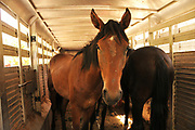 Four wild stallions, who are Spanish wild horses, were rescued by Equine Voices Rescue & Sanctuary, Green Valley, Arizona, USA.  The horses were transported from Nogales to Aravaipa Canyon Ranch, north of Mammoth, where they will live their natural life in the wild.  The horses began residing in a subdivision in Green Valley before they were rescued on July 11, 2011, according to sanctuary president and founder, Karen Pomroy.