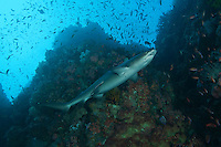 Whitetip Reef Shark cruises, while reef fish feed in the water column