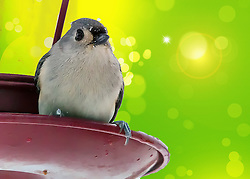 Snowflakes land on this closeup photograph of a Tufted Titmouse perched on a red bird feeder in winter, contrasted against a vibrant sparking green backdrop