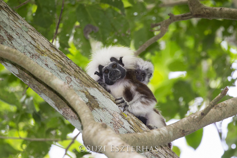 Cotton-topped Tamarin<br /> Saguinus oedipus<br /> Adult with two-week-old baby<br /> Northern Colombia, South America