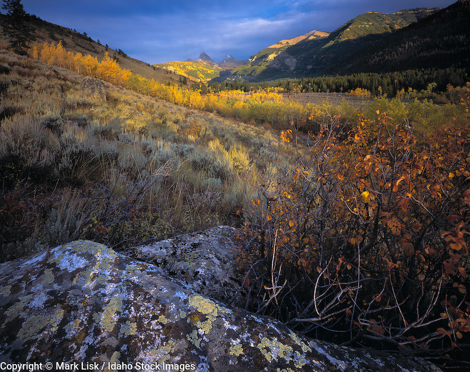 Aspens in the fall foilage sweep color across the west face of the Teton Mountains.