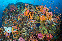 Feeding anthias and Cup Corals in a riot of orange and pink<br /> <br /> Shot in Indonesia