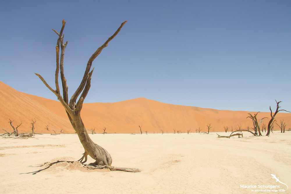 Deadvlei - a living desert in Namib Naukluft National Park, Namibia.
