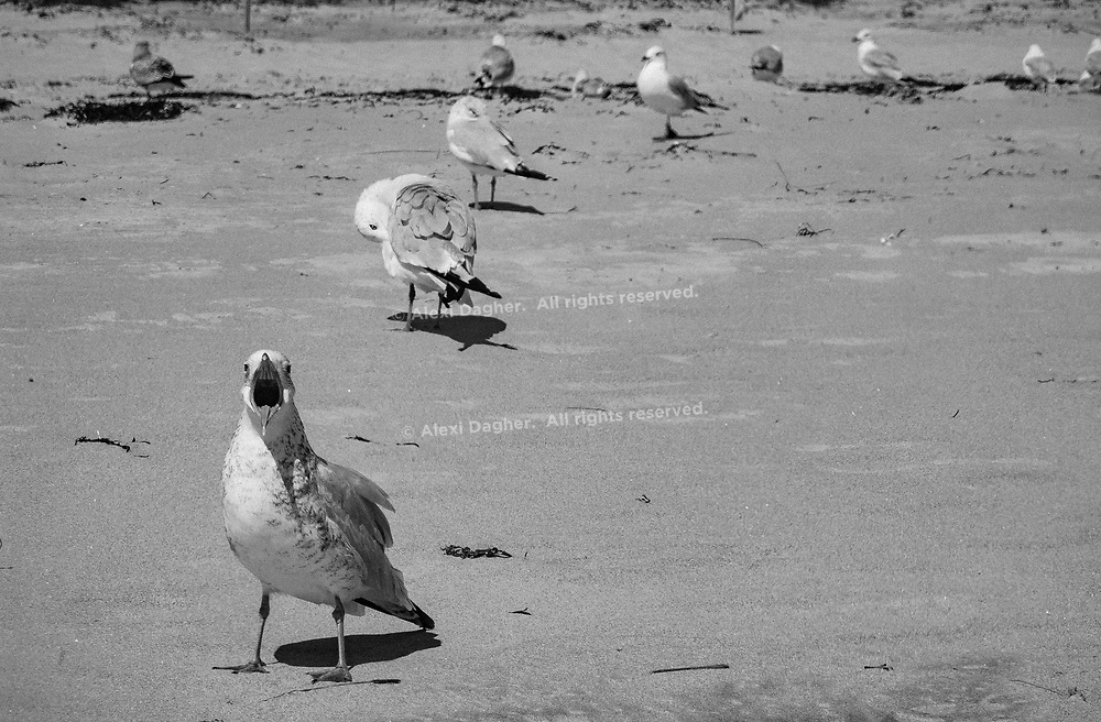 Seagull Yell, Ogunquit - Maine, USA, 2016