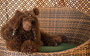 Pedigree Dog - brown miniature poodle with hair braids sits in basket