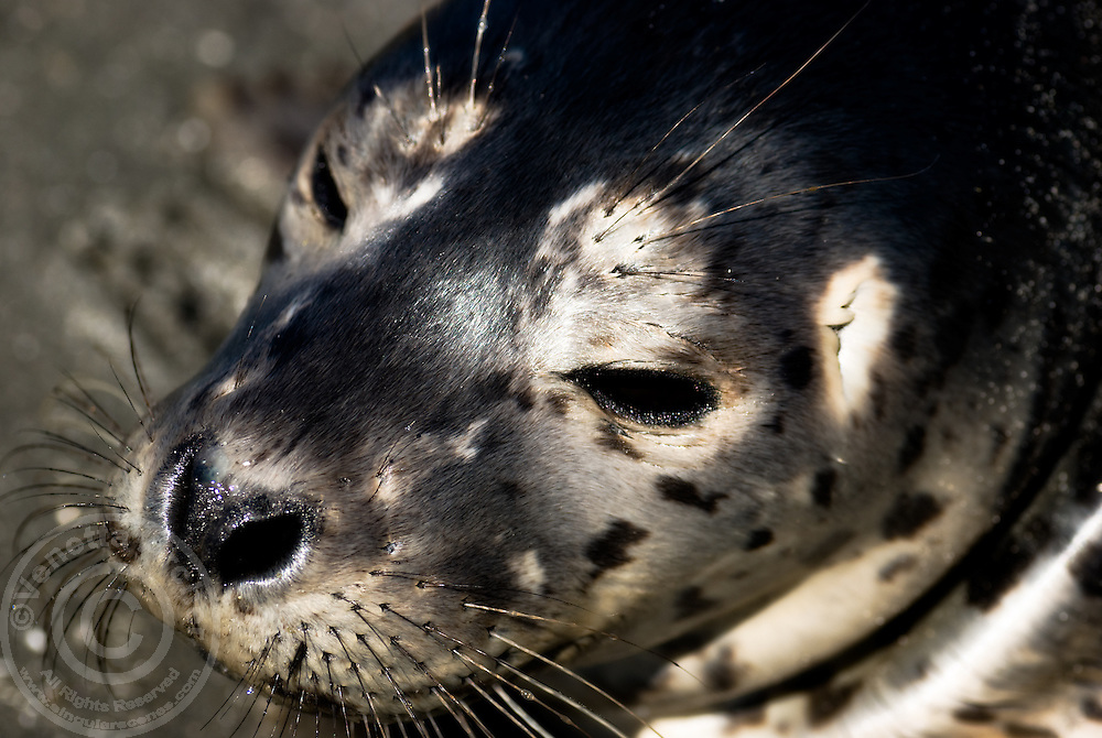 A baby harbor seal awaits its mother's return on the beach