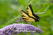 03023-02618 Eastern Tiger Swallowtail butterfly (Papilio glaucus) on Butterfly Bush (Buddleia davidii) Marion Co., IL