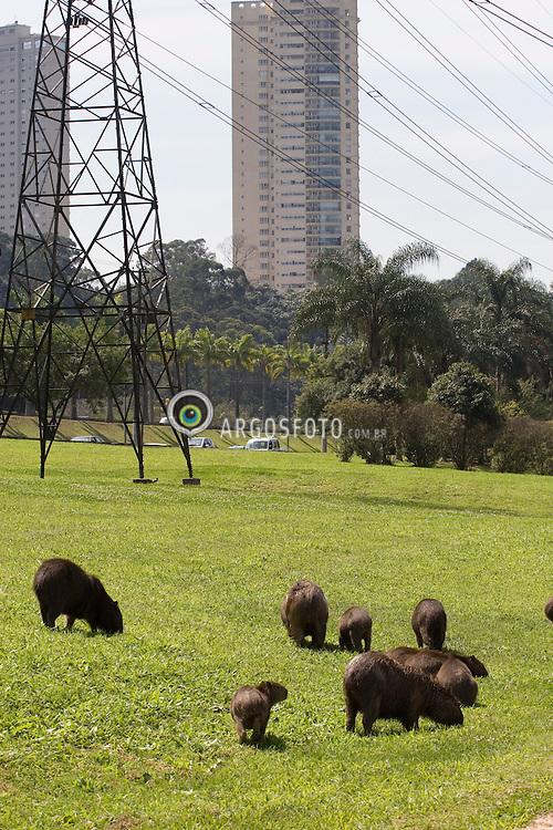 A capivara (Hydrochoerus hydrochaeris) eh o maior roedor vegetariano do mundo pode chegar a pesar 80 Kg. Encontrada em certas areas das Americas do Sul e Central. No Brasil eh um animal tipico do Pantanal, sendo exotica a sua aparicao em um grande centro urbano como Sao Paulo./Capybara (Hydrochoerus hydrochaeris) is the largest living rodent in the world.Adult capybaras may grow to 130 centimetres (4.3 ft), and weigh up to 65 kg (140 lb).They are founded in certain areas of South an Central Americas. In Brazil, they are typical animals from Pantanal and see this animals in large urban centers as Sao Paulo is an exotic situation.