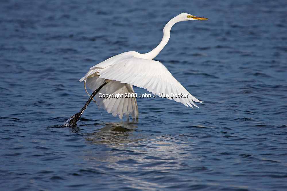 Great Egret beginning its flight