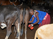 Africa, Tanzania, Maasai an ethnic group of semi-nomadic people woman milking cow