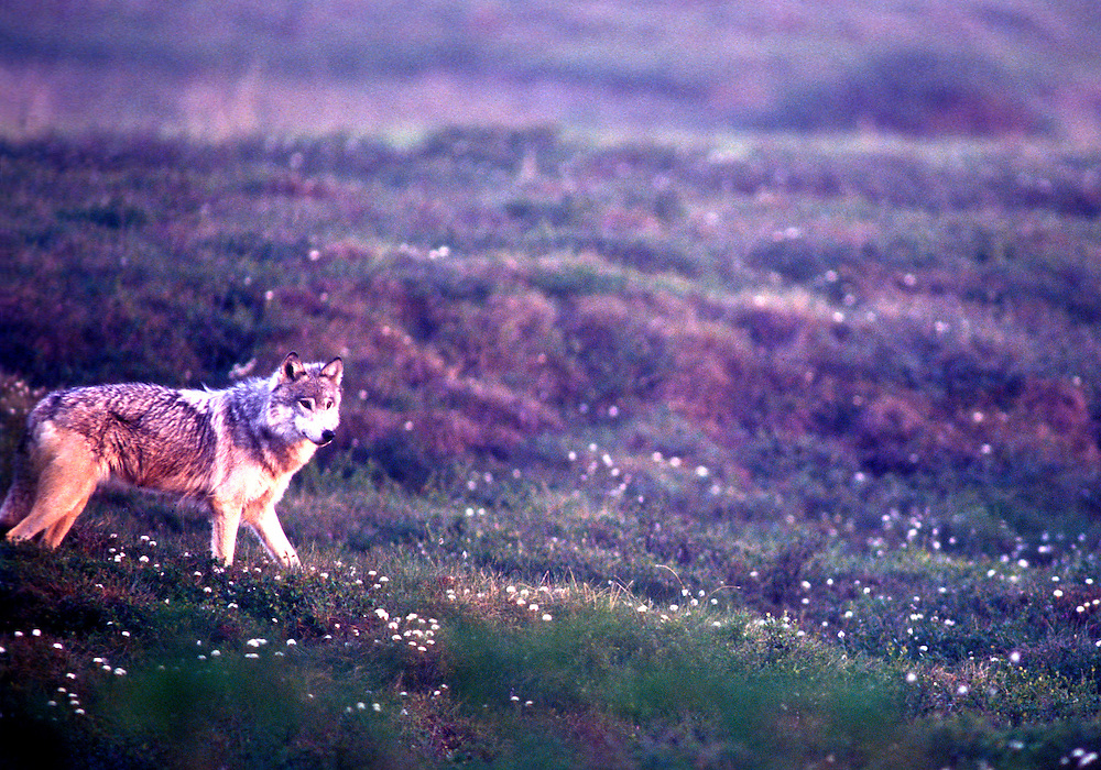 USA, Alaska, Gray Wolf (Canis lupus) standing fully alert near Sagavanirktok River ~200 miles north of Arctic Circle