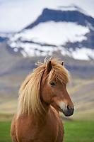 An Icelandic Horse in Dýrafjörður, West fiords of Iceland.