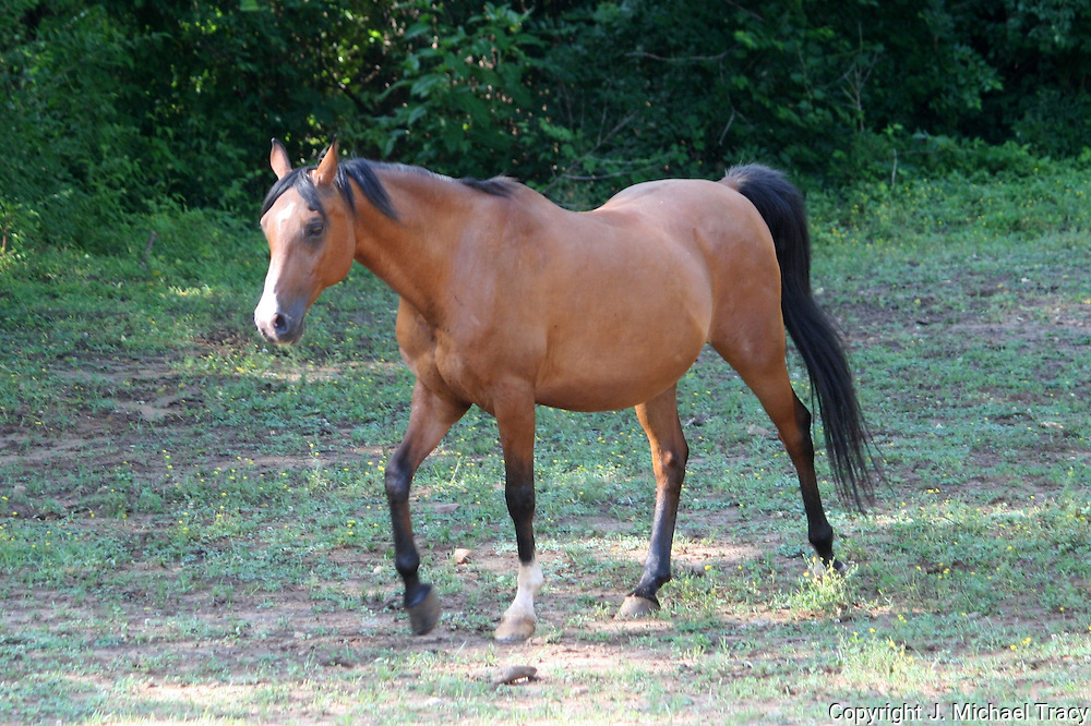 A Spirited Chestnut Polish Arabian prances through it's pasture looking for trouble.