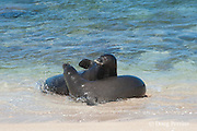 Hawaiian monk seals, Monachus schauinslandi, Critically Endangered endemic species, a 7-year-old male (RI11) in front, and a female (R318) behind, interact at beach on west end of Molokai, Hawaii ( Central Pacific Ocean )