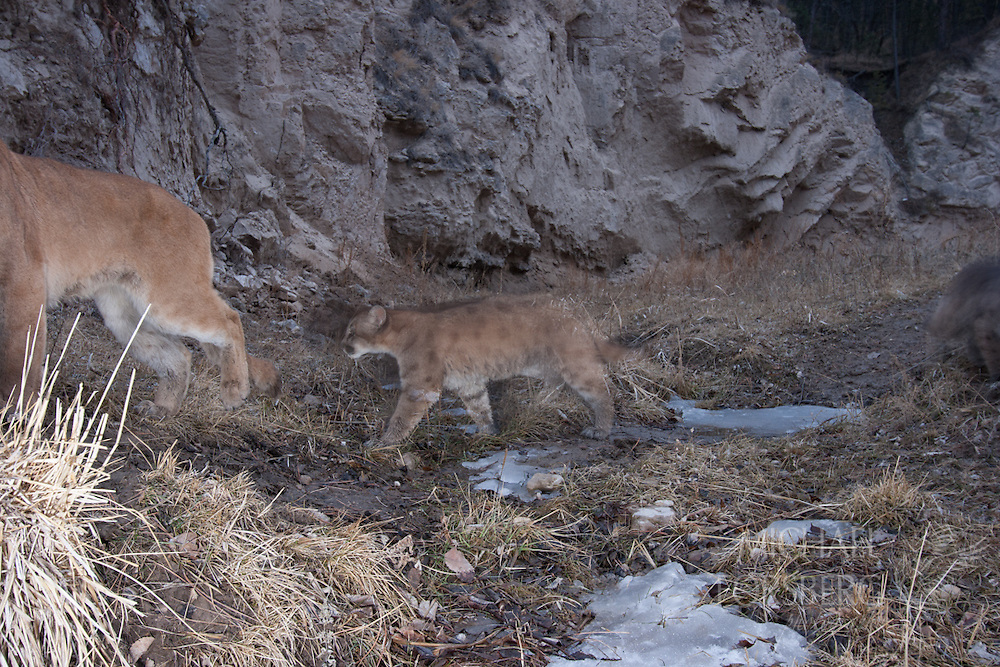 Dawes County, Pine Ridge, Nebraska<br /> <br /> A female mountain lion and two young kittens cross a dry creek bed at the base of a draw <br /> (Note: these images the first captured of mountain lion with kittens in Nebraska, thus proving existence of wild reproduction in the state. This lion is believed to have had three kittens, two of which were killed by vehicles on Hwy 20 in the general vicinity, one kill was just a day after this photograph was taken)