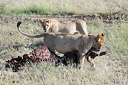 Tanzania, Serengeti National Park two lionesses with a hunted zebra