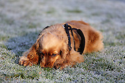 This is Liesl, a 6.5 month-old golden cocker spaniel
