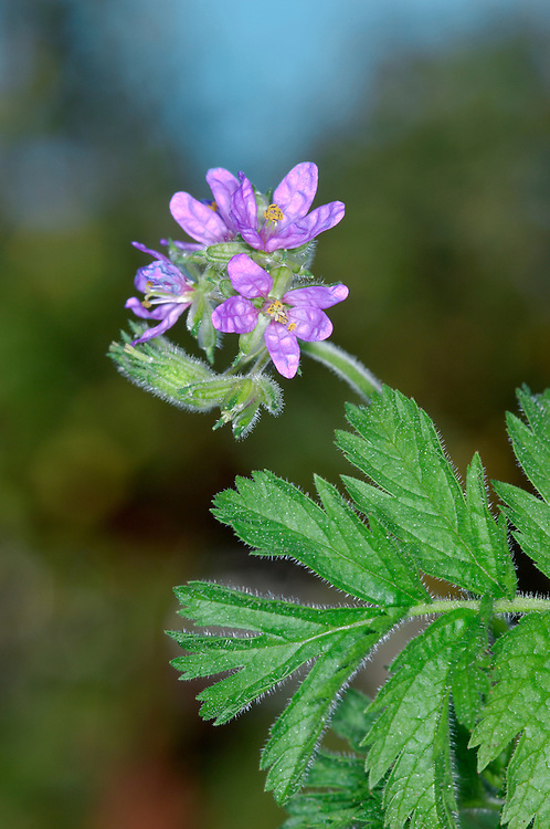 MUSK STORK'S-BILL Erodium moschatum (Geraniaceae) Height to 25cm. Stickily hairy annual; smells of musk. Found on bare, disturbed sandy ground; mainly coastal. FLOWERS are 25-30mm across with pink petals that are easily lost; borne in dense heads (May-Jul). FRUITS are long and beak-like. LEAVES are pinnate, the lobes oval and toothed, not feathery; stipules are broad. STATUS-Local, mainly in SW.