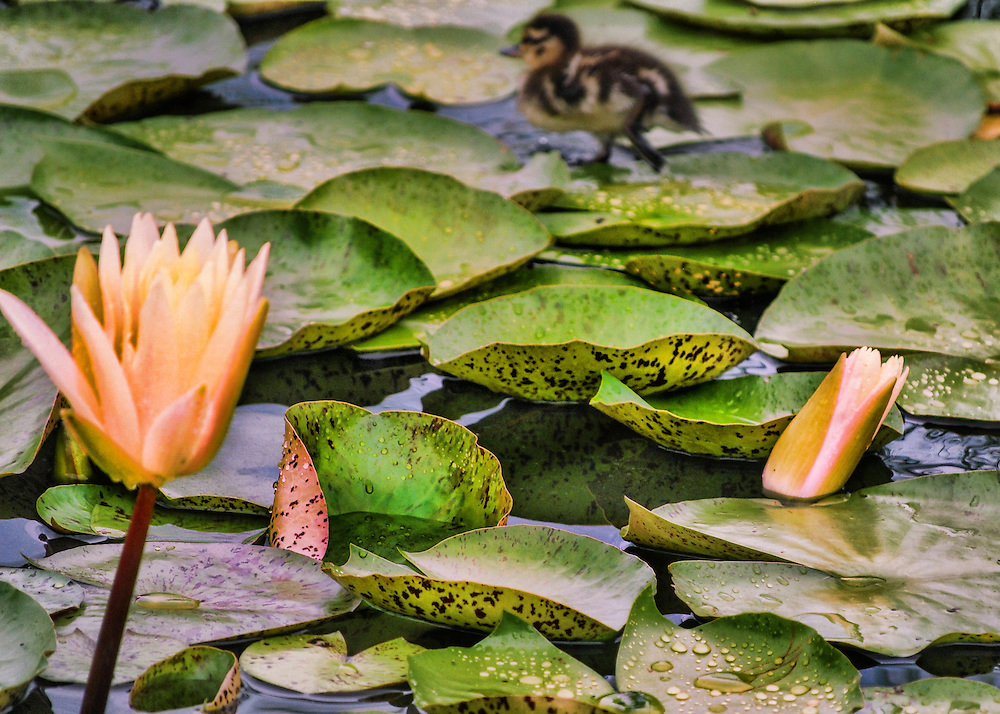 Baby Duck Water lilies at Mount Holyoke College and Botanical Gardens, Bronx, New York  Various flowers and nature scenes photographed at different times of the year.  All of flowers were photographed in New York, Connecticut, Massachusetts, Maine and Rhode Island.  Many, ones with the ducklings were photographed at the Botanical Gardens in the Bronx, New York and some at Mount Holyoke College Greenhouse in Massachusetts.