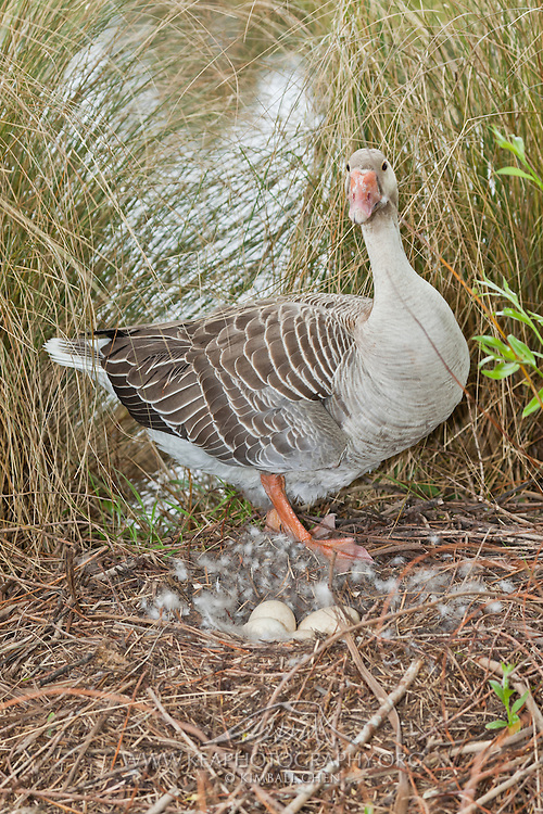 Toulouse Goose sitting on eggs at nest, Southland, New Zealand