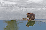 Beaver at Oxbow Bend in Grand Teton National Park Wyoming