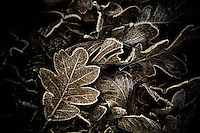A cluster of oak leaves iced with hoar frost.