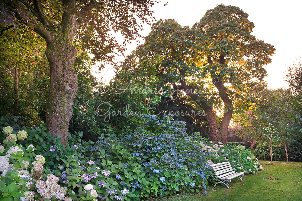 Hydrangea borders, large deciduous ornamental trees including beech and sweet chestnut, bench seat and a newly planted young tree at Glin Castle, Ireland