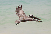A brown pelican (pelecanus occidentalis) in flight. Floreana Island, Galapagos Archipelago - Ecuador.