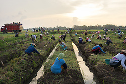 May 1st, 2014  - Sumber Sari Village, Indonesia. Farmers collect onions from a field in the outskirts of the village for less than 3 USD per day. In the last decade, the lack of job opportunities and low wages forced many people to migrate abroad. © Thomas Cristofoletti / Ruom
