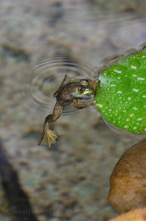 Northern Green Frog (Rana clamitans melanota) clinging to lilypad.