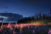 Fireweed (Epilobium angustifolium) - National Park Thy, Denmark