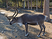 A captive male reindeer sports antlers in the Christmas themed town of North Pole, Alaska, USA. Reindeer and caribou look different, but they are probably the same species of deer (Rangifer tarandus) which are well adapted to Arctic and Subarctic regions. Both sexes grow antlers, which are typically larger in males. Reindeer are well known from the Christmas myth where flying reindeer pull Santa Claus's sleigh, as popularized since the early 1800s in America. Caribou are large, wild, elk-like animals which live on lichen and vegetation above tree-line in arctic North America and Greenland. Reindeer are slightly smaller and were domesticated in northern Eurasia about 2000 years ago. Today, reindeer are herded by many Arctic peoples in Europe and Asia including the Sami in Scandinavia and the Nenets, Chukchi, and others in Russia. Reindeer and caribou have unique hairs which trap air for excellent insulation and flotation for swimming cold rivers.