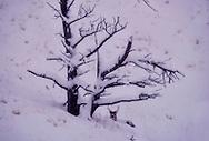 Mule Deer, buck, winter, snow storm, Absaroka Mountains, south of Livingston Montana