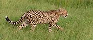 Young cheetah walking through grassland, Phinda Game Reserve, South Africa, © 2019 David A. Ponton