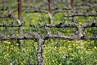2014 March 20:  Old vines waking up in Oakville. Spring in the Napa Valley wine region.  Stock Photos