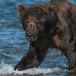 Brown bear chasing into the water to catch salmon along the Alaska Peninsula, Alaska