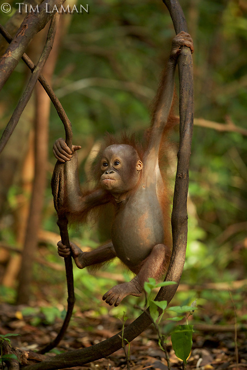 A juvenile orangutan at IAR practicing climbing in a patch of forest where it is learning skills for the wild <br />